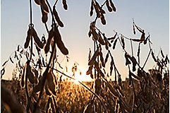 Soybeans at harvest