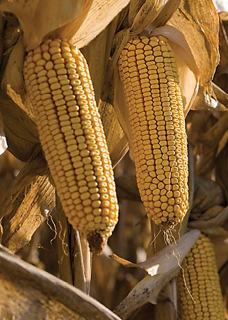 Corn, Corn Stalks
