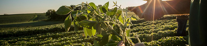 Inspecting midseason soybeans