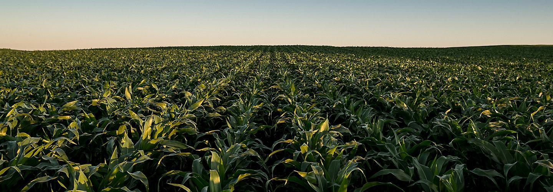 Midseason corn field