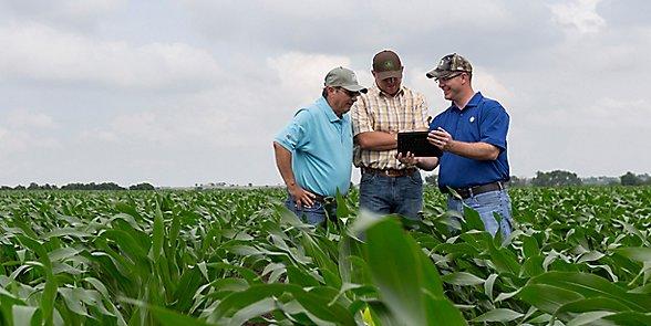Three men walking in midseason corn field