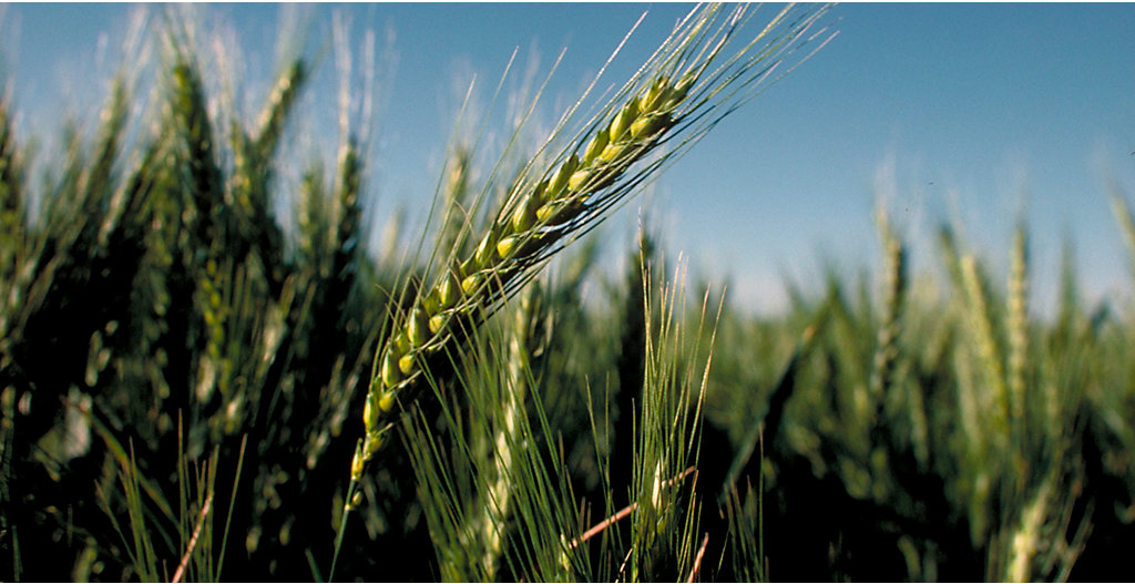 Early season wheat
