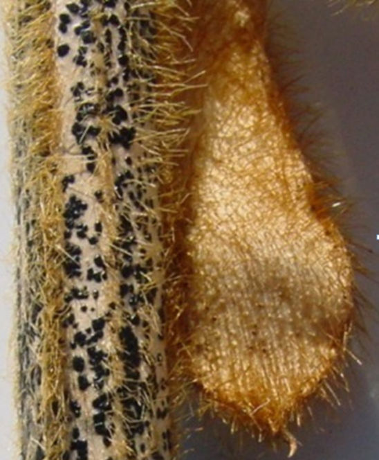 Anthracnose-infected soybean stem.