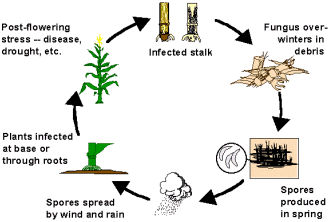 Anthracnose Stalk Rot Disease Cycle (Colletotrichum graminicola)