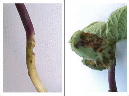 Bean leaf beetle feeding injury to soybean hypocotyl and cotyledons.