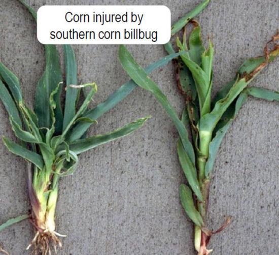 Corn injured by southern corn billbug