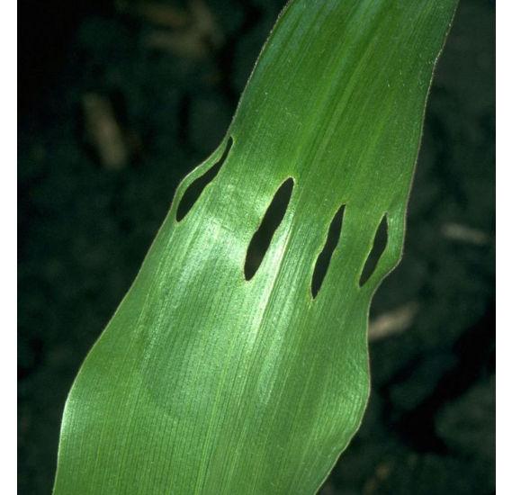 Holes in corn leaf caused by corn billbug