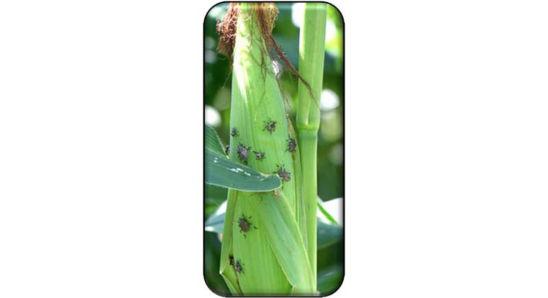 Stink bugs feeding on corn ears