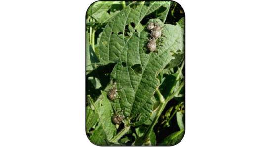 Brown marmorated stink bug feeding injury to soybean leaf