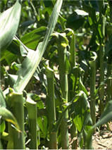 Snapped corn plants at the VT growth stage.