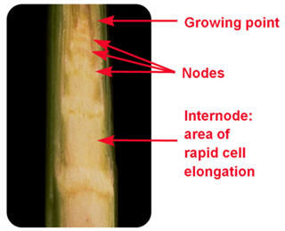 Dissected corn plant showing the developing structures inside the stalk.
