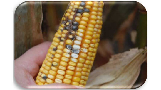Corn cob damaged by Cladosporium ear rot.