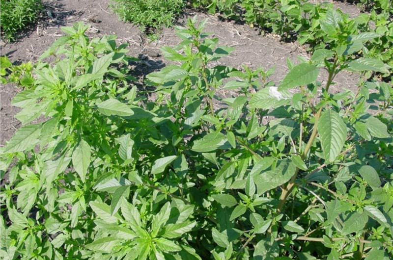 Palmer amaranth and waterhemp