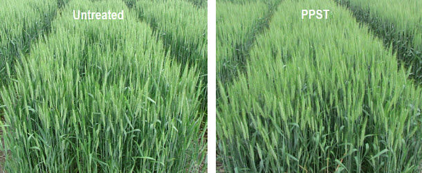 Field comparison of untreated wheat to wheat treated with Pioneer Premium Seed Treatment