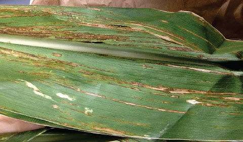 This is a photo showing leaf streak on corn.