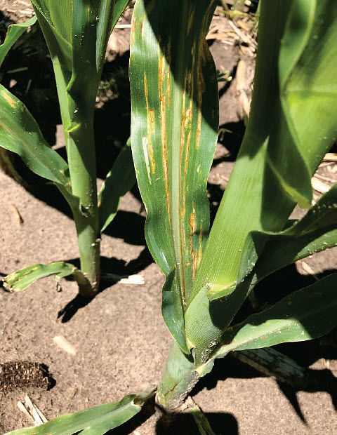 This is a photo showing bacterial leaf streak on a corn plant.