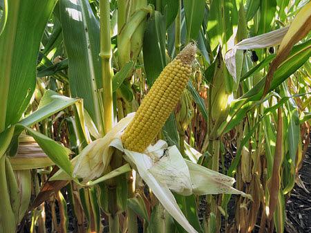 Corn showing nitrogen deficiency symptoms.