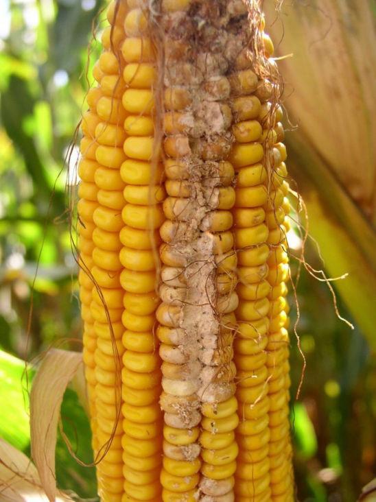 corn earworm damage down the ear