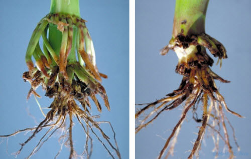 Severe corn rootworm feeding damage.