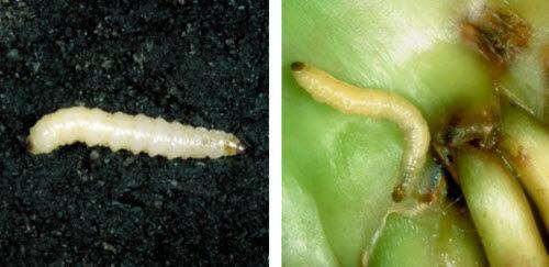 Corn rootworm larvae.