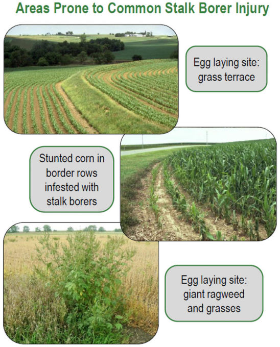 Areas prone to common stalk borer injury