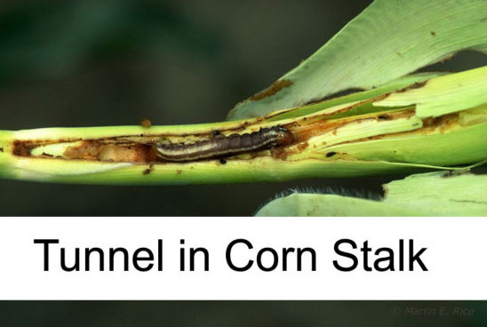 Common stalk Borer tunnel in corn stalk