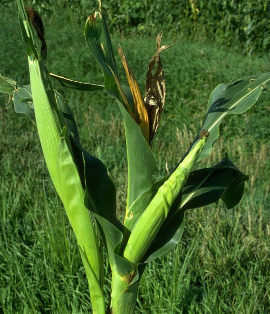 Stunted ears caused by common stalk borer