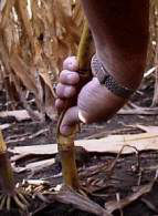 Weak stalks can be detected by pinching the stalk at the first or second elongated internode above the ground. If the stalk collapses, this indicates advanced stages of stalk rot.