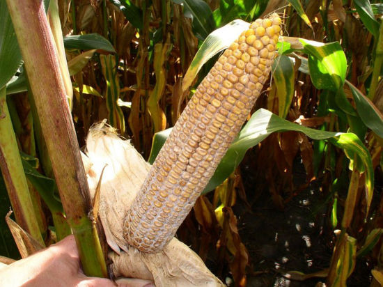 corn ear infected with diplodia ear rot