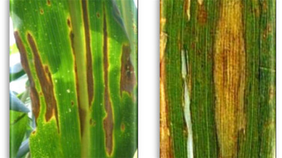 Diplodia Leaf Streak lesions (left) and northern corn leaf blight lesions (right)
