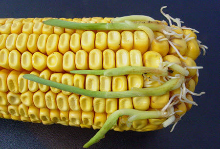 Premature germination of corn kernels