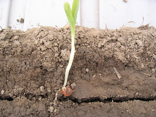 Photo showing corn seedling with restricted root growth.