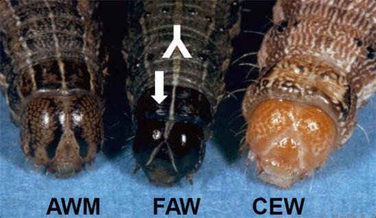 armyworm and earworm
