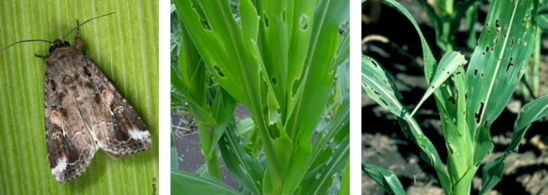 FAW adult  and damage to whorl-stage corn