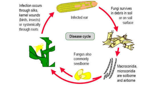 Fusarium ear rot disease cycle