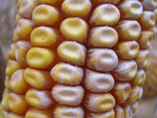 fusarium_ear_rot_symptoms2