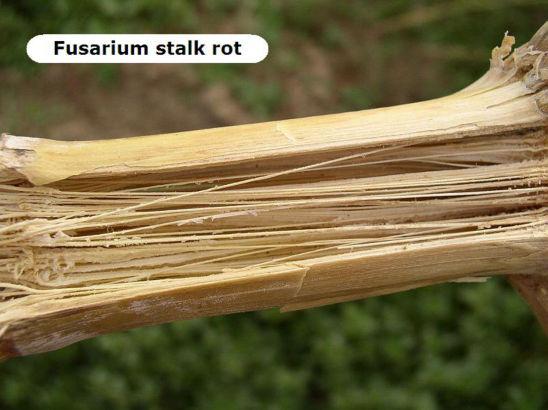 corn stalk infected with fusarium stalk rot
