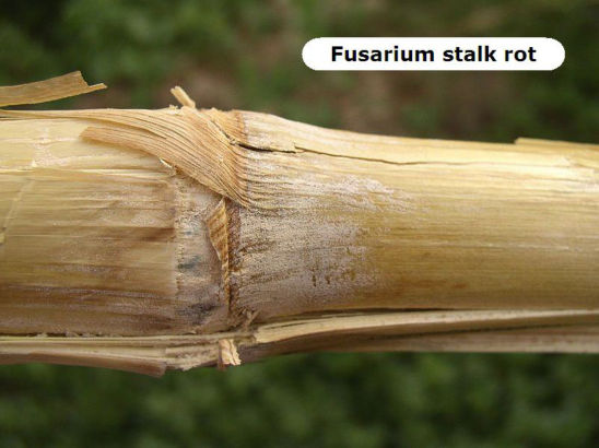 corn stalk rot infected with fusarium stalk rot