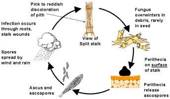Gibberella Stalk Rot Disease Cycle (Gibberella zeae)