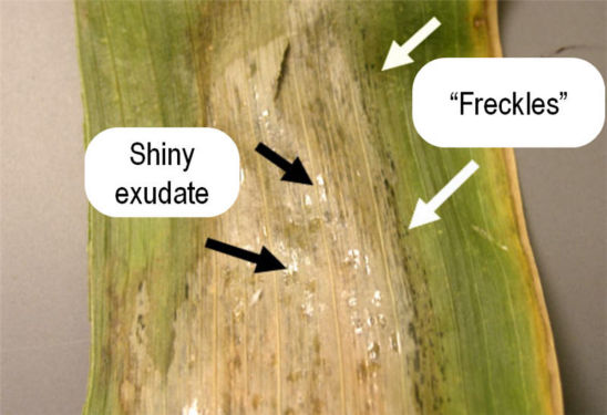 Distinguishing features of Goss's Wilt lesions