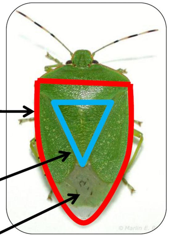 shield shape of green stink bug