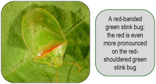 red-banded green stink bug