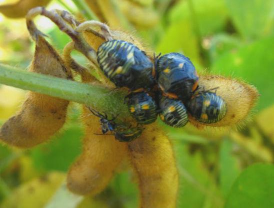 Stink bug nymphs feeding on seed through pod wall