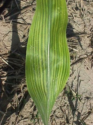 High pH induced iron deficiency chlorosis in sorghum.