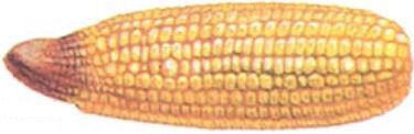 corn ear showing nitrogen shortage symptoms