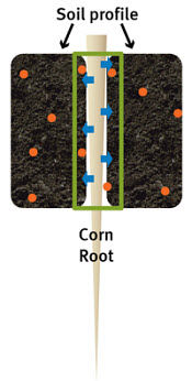 Corn roots exude hydrogen into the soil profile to acidify soil immediately surrounding the root.