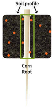 Corn roots can extract only those nutrients from soil immediately surrounding the root tissue.