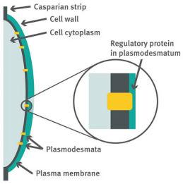 Endodermal cell