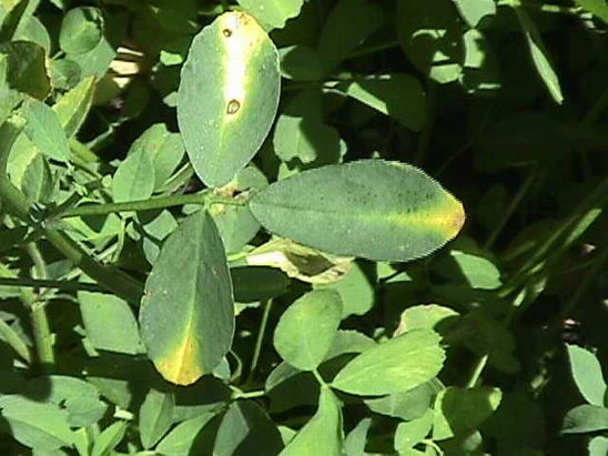 Alfalfa plant leaves showing wounds from potato leafhopper feeding.