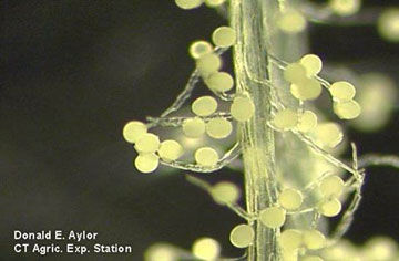 Pollen attached to silk trichomes.